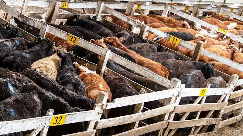 3.000 vacas varadas frente al puerto de Cartagena por sospechas de padecer de 'lengua azul' o 'fiebre aftosa'