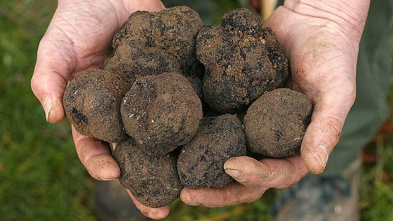 Las condiciones del suelo, la altitud y el clima de España han propiciado la proliferación de cultivos de trufa negra