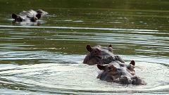 Los hipopótamos del narco Escobar se reproducen sin control en Colombia