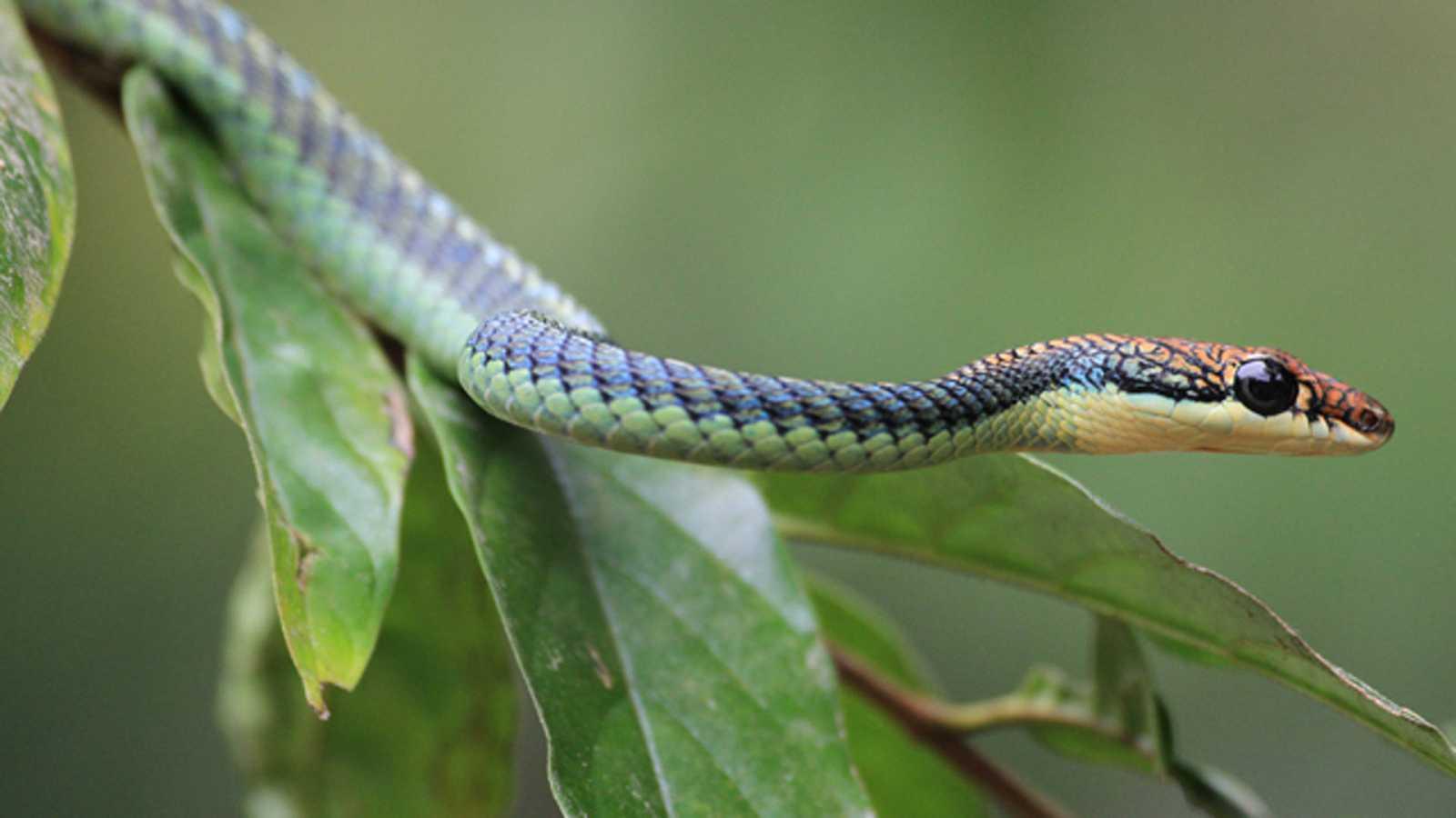 Grandes documentales - El reino secreto de Borneo: La selva de las serpientes voladoras - ver ahora