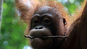El reino secreto de Borneo: El imperio del sol