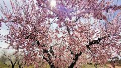 España Directo - Almendros en flor