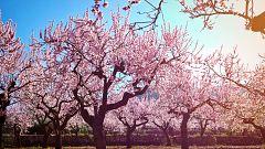 Aquí la Tierra - Los almendros en flor del municipio de Oria
