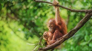 Planeta selva: Selvas ancestrales. Borneo