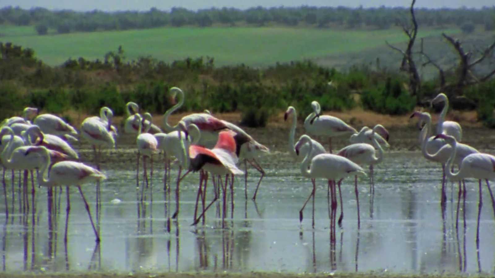 El hombre y la tierra (Fauna ibérica) - Los flamencos - ver ahora