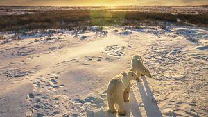 Nacido explorador: Canadá, la migración de los osos polares