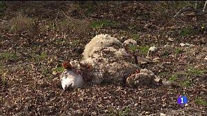 Os lobos matan sete ovellas en Friol