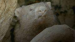 Grandes documentales - La vida secreta de los Wombat: El bosque de los Wombat