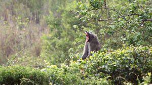 Bebé babuino y su extraña familia