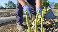 Aquí la Tierra - ¡Aprendemos a plantar espárragos de la mano de nuestro experto hortelano!