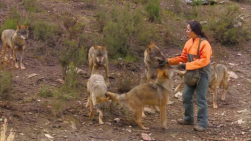 Comando Actualidad - ¿Qué pasaría si no existiera el lobo en España?