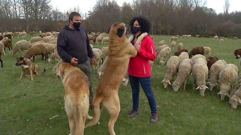 Comando Actualidad - ''Pastar con lobos'' como seña de identidad
