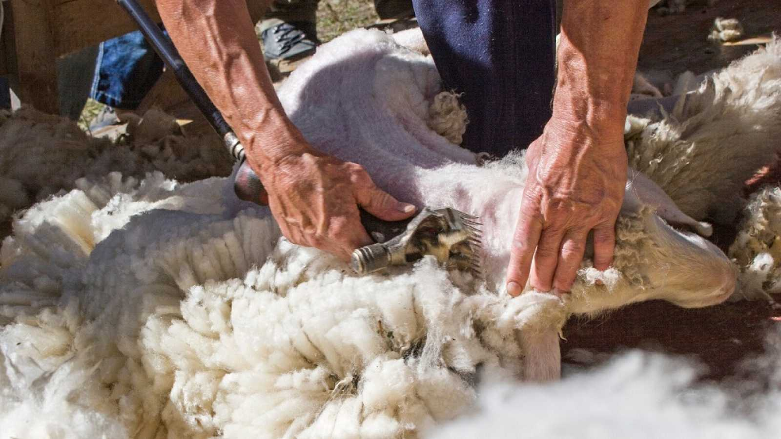 España Directo - La misión de los esquiladores este año: pelar la lana de un millón de ovejas