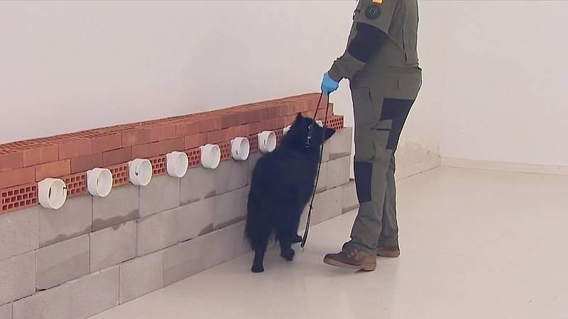 El adiestramiento de perros para detectar la COVID-19