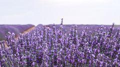 Aquí la Tierra - Plantas arómaticas y su singular olor
