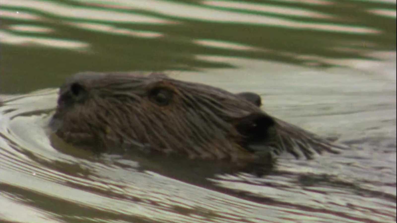 El hombre y la Tierra (Serie canadiense) - El lago de los castores - ver ahora