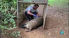 La Metro - Alternatives a la caça per controlar els senglars dels boscos, ara més freqüentats