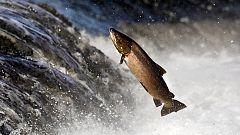 España Directo - Sella ya tiene su 'campanu': un salmón de 8 kilos