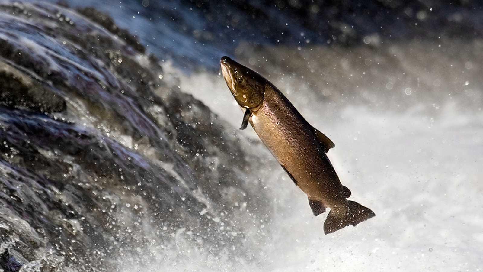 España Directo - Sella ya tiene su 'campanu' un salmón de 8 kilos