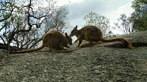 Episodio 11: Una jungla de aromas, Australia