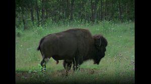 Gran fauna canadiense I