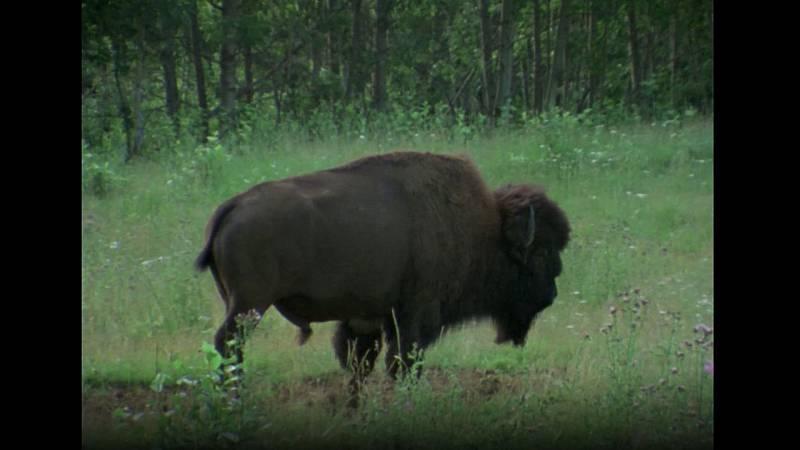 El hombre y la tierra (Serie canadiense) - Gran fauna canadiense I - ver ahora