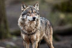 Espinosa de los Monteros denuncia ataques de lobo al ganado dentro del pueblo