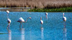 España Directo - El apareamiento de los flamencos en la Laguna de Fuente de Piedra