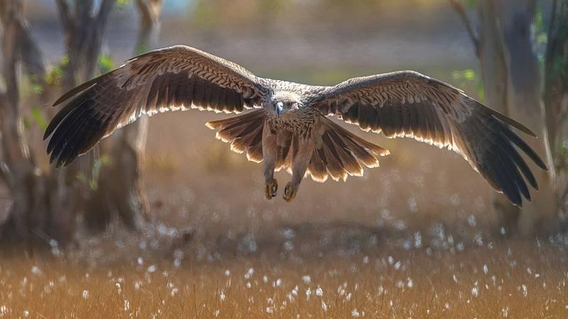 Aquí la Tierra - Así el arte de la cetrería y cómo se 'domestican' las aves rapaces como el águila imperial