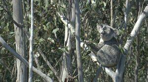 Territorio de koalas