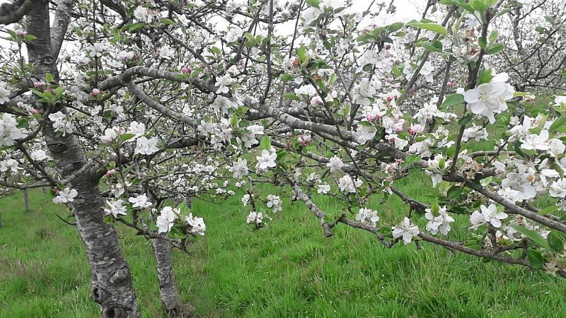 España Directo - Los manzanos en flor, el paisaje primaveral de Asturias