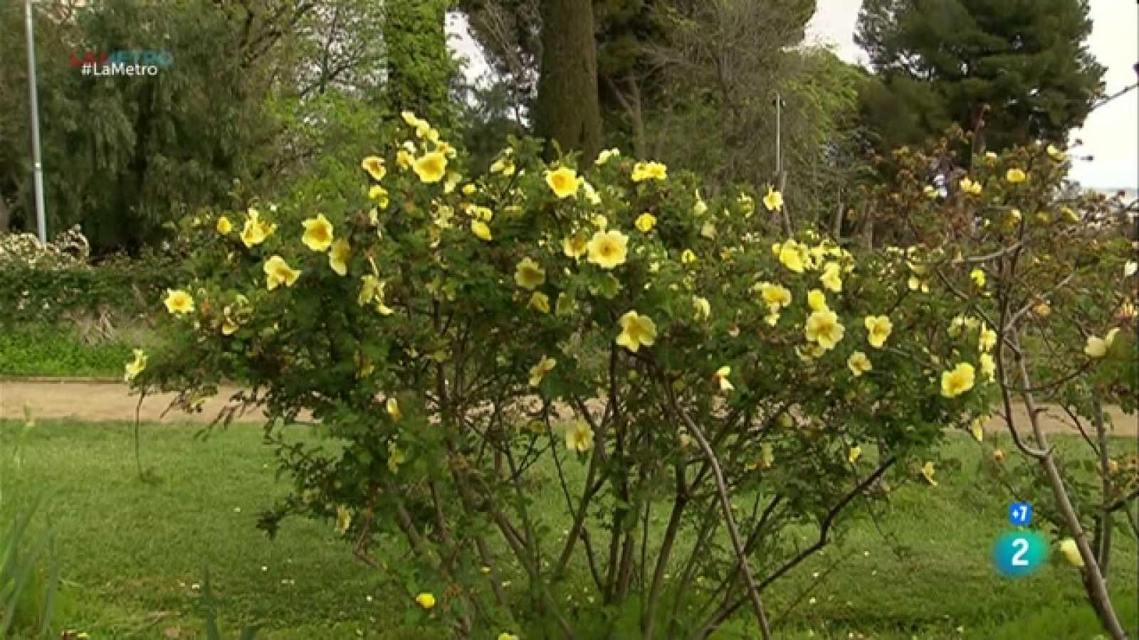 Parlem amb afeccionats de la passió per les roses, quan ja tot és a punt per l'Exposició Nacional de Roses que se celebra del 7 al 16 de maig a Sant Feliu de Llobregat.