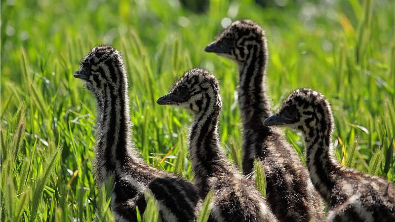 Historias salvajes - El viaje del emú - ver ahora