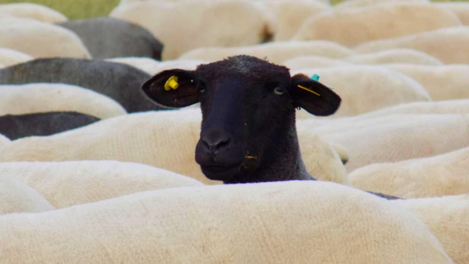 Aquí la Tierra - La oveja negra castellana, una raza en peligro de extinción