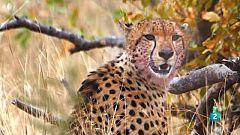 Grans Documentals - Planeta selva - El bosc papallona. Sabanes d'Àfrica