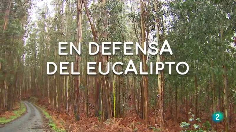 La aventura del saber En defensa del eucalipto Galicia sentencia planta invasora #AventuraSaberNaturaleza
