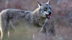 Detrás del instante - Andoni Canela y el lobo salvaje