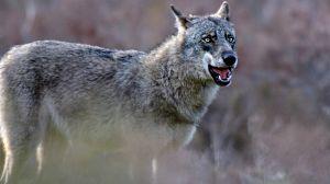 Andoni Canela y el lobo salvaje