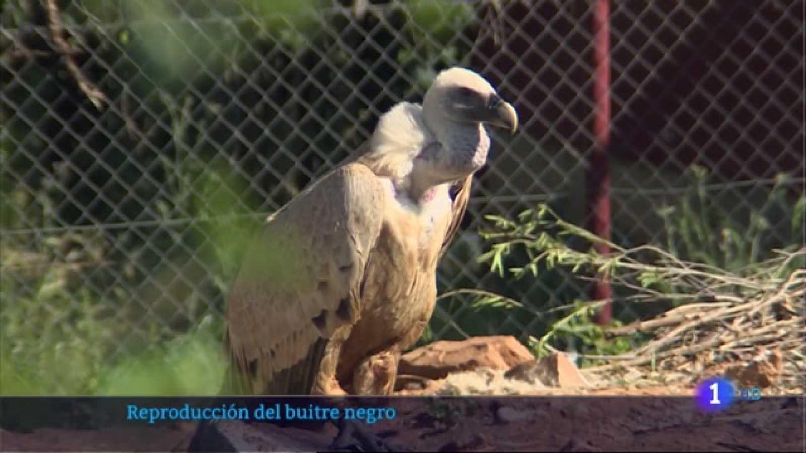 Reproducción del buitre negro en Villafranca de los Barros - 06/05/2021
