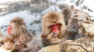 Los monos de las nieves (Japón)