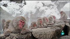 Grans Documentals - Japó salvatge - Els macacos de les neus