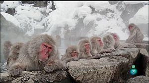 Japó salvatge - Els macacos de les neus
