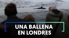 Liberan a una ballena de 3 metros varada en una esclusa del río Támesis