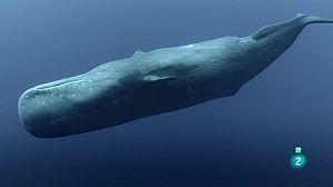 Mamífers marins: Campions de les profunditats