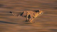 Somos documentales - El guepardo. La carrera por el trono