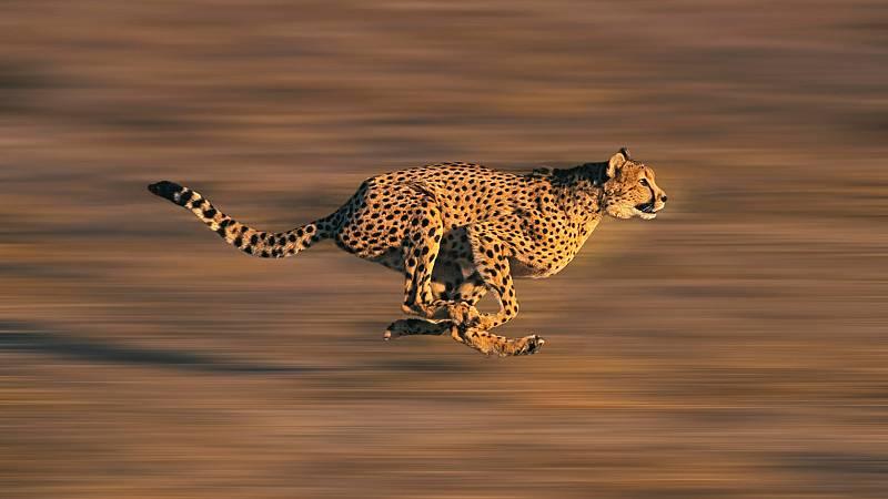 Somos documentales - El guepardo. La carrera por el trono - ver ahora