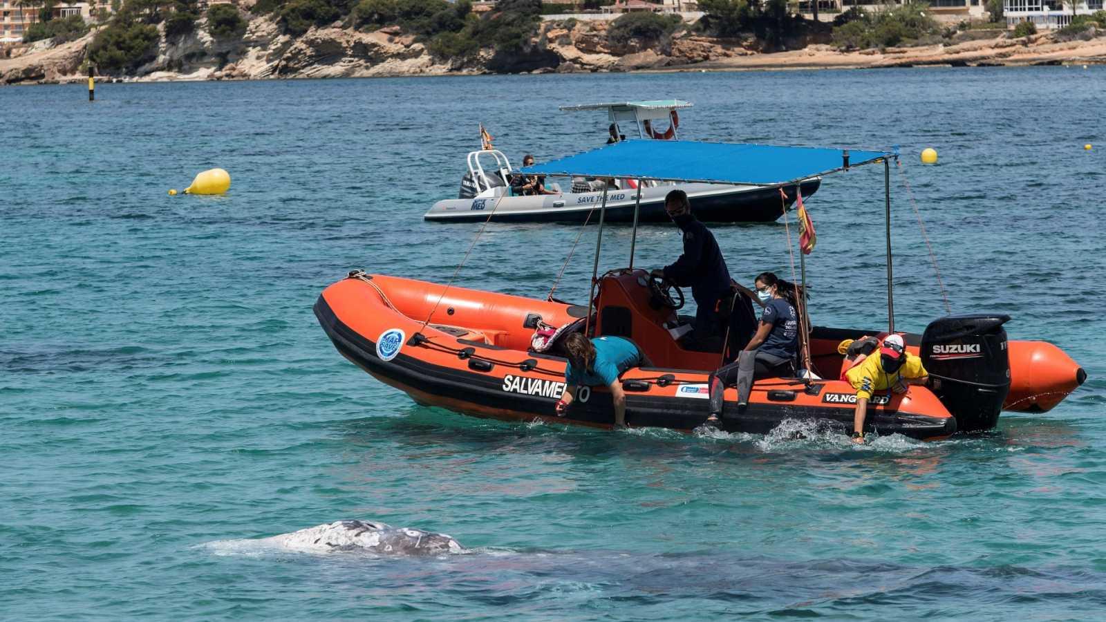 El calentamiento global podría haber favorecido a que la ballena Wally se perdiese en las aguas de Mallorca, según los científicos