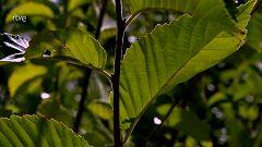 El escarabajo verde - La repoblación del olmo