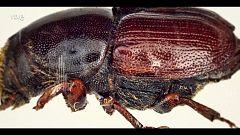 El escarabajo verde - La grafiosis en los olmos