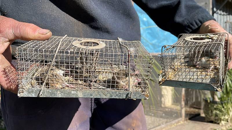Una plaga de ratones devasta cultivos en Australia